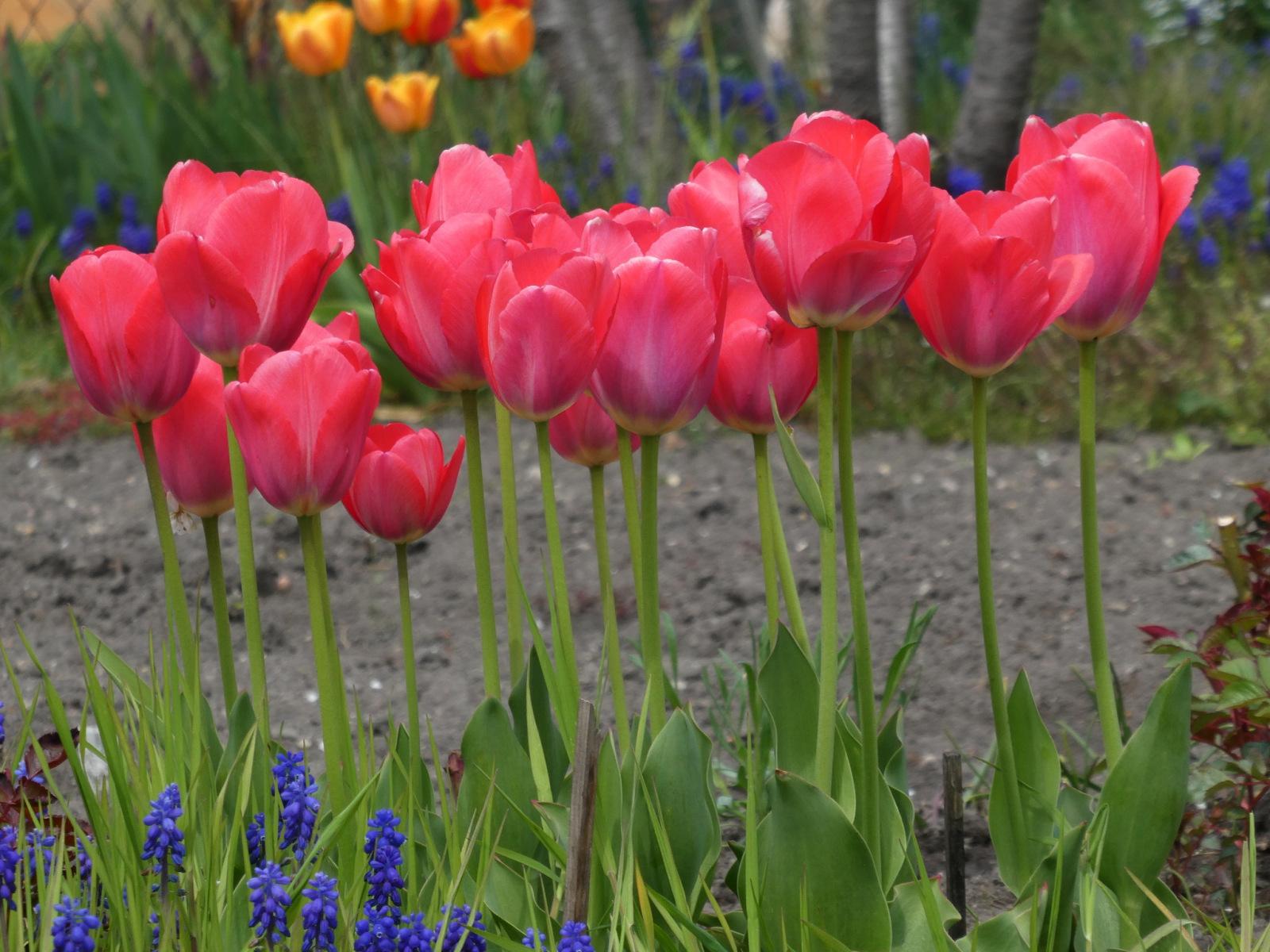 Tulpen_rot
