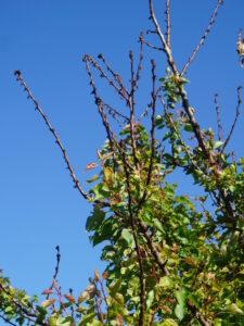 Mandelbaum mit kahlen Ästen